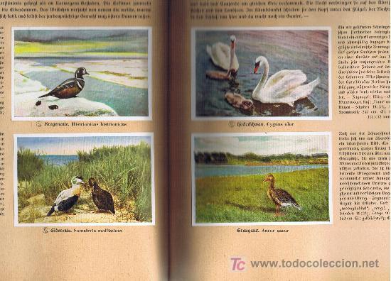 Coleccionismo Álbum: Aus Deutschlands Ed. Hamburgo 1936 preciosa col. completa de 200 cromos de aves comentados ver fotos - Foto 6 - 23599646