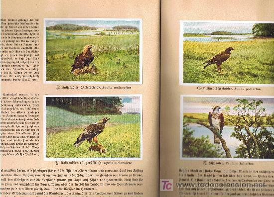 Coleccionismo Álbum: Aus Deutschlands Ed. Hamburgo 1936 preciosa col. completa de 200 cromos de aves comentados ver fotos - Foto 5 - 23599646