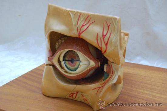modelo anatomico de enosa (ojo) en-429016.(42cm - Comprar Varias ...