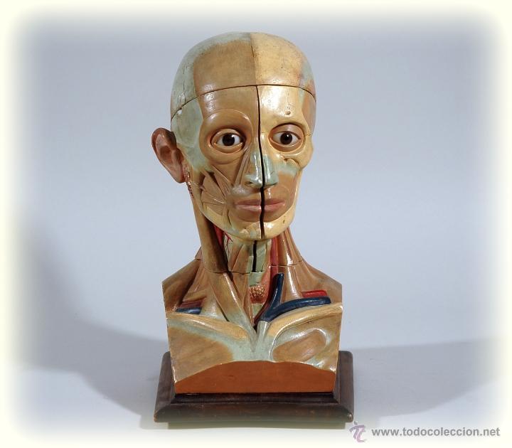 CABEZA ANATOMICA DESMONTABLE AÑOS 40 MEDICINA (Antigüedades - Técnicas - Herramientas Profesionales - Medicina)