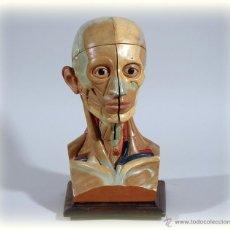 Antigüedades: CABEZA ANATOMICA DESMONTABLE AÑOS 40 MEDICINA. Lote 150946573