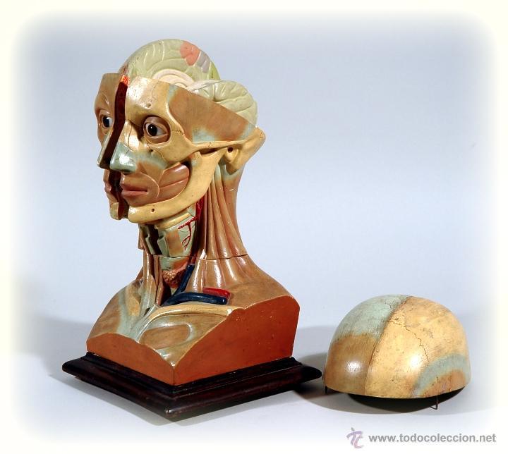 Antigüedades: CABEZA ANATOMICA DESMONTABLE AÑOS 40 MEDICINA - Foto 2 - 150946573