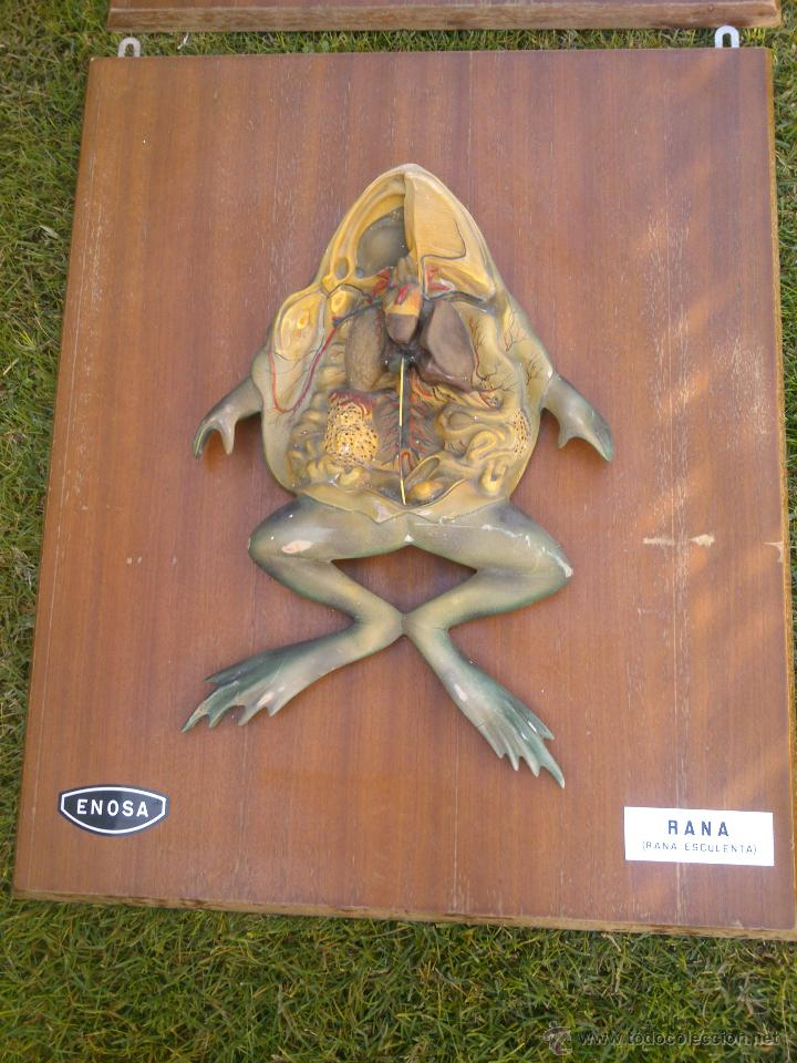 cuadro anatomia rana-enosa .enseñanza visual - Comprar Varias ...