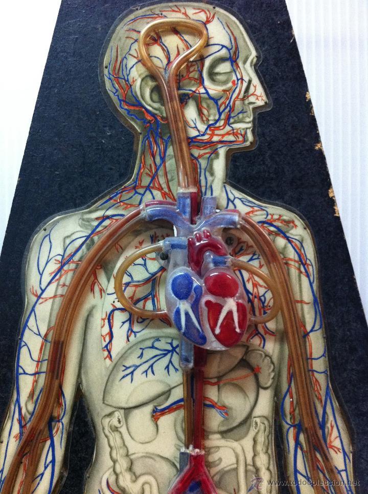 modelo anatomia circulacion sanguinea- belgica - Comprar Varias ...