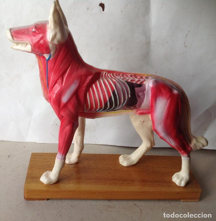 preciosa anatomia de un perro , base en madera - Comprar Varias ...