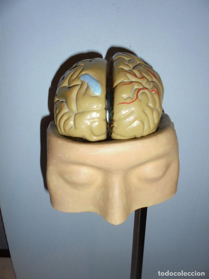 (M) ANATOMIA - GABINETE MEDICO - ENSEÑANZA - PARTES DEL CUERPO - CABEZA Y CEREBRO TODO DESMONTABLE (Antigüedades - Técnicas - Herramientas Profesionales - Medicina)