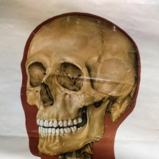 Antigüedades: CARTEL DE ANATOMÍA HUMANA ALEMÁN DE MUSEO. Lote 87435156