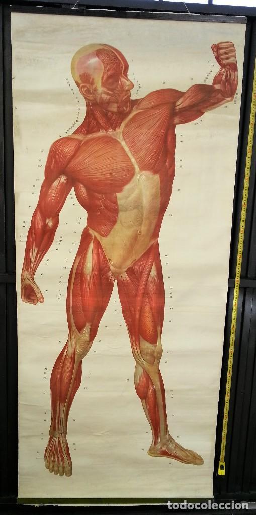 cartel antiguo. sistema muscular. años 88. orig - Comprar ...