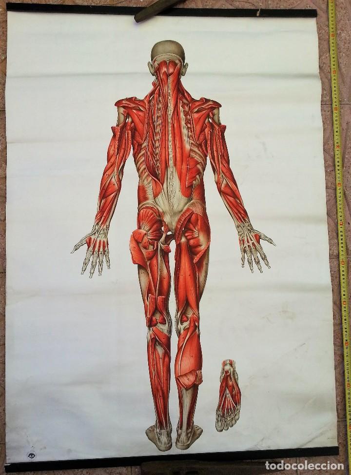 cartel antiguo. sistema muscular. año 90. origi - Comprar ...
