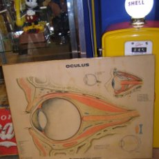 Antigüedades: ANTIGUO CARTEL OCULUS DE 1967. AMERICAN OPTICAL COMPANY. EN MADERA. CONSULTA OCULISTA. MÉDICO. Lote 117293343