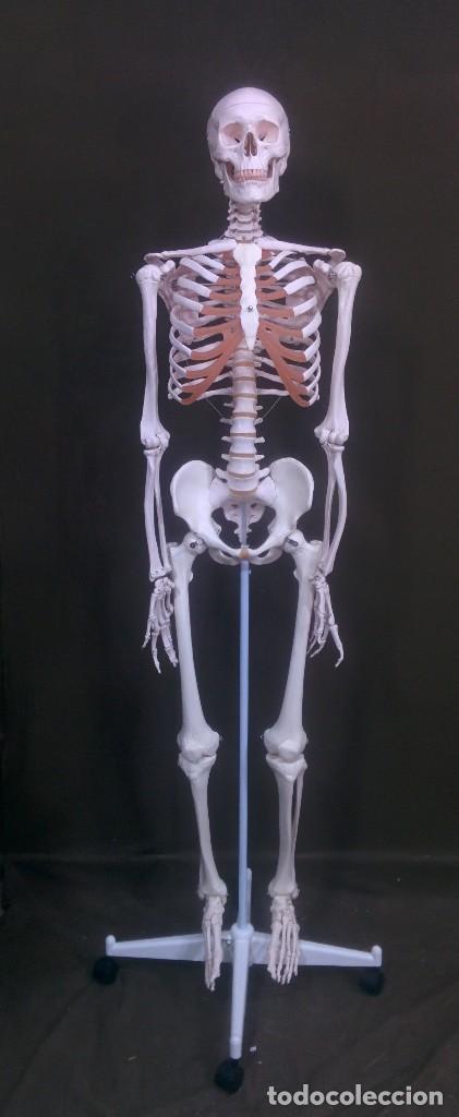 esqueleto anatomia humana pro instalaciones méd - Comprar ...
