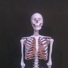 Antigüedades: ESQUELETO ANATOMIA HUMANA PRO INSTALACIONES MÉDICAS 171CM NUEVAS UNIDADES!!. Lote 154637301
