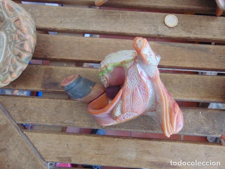 Antigüedades: LOTE DE ORGANOS Y PARTES DEL CUERPO HUMANO ANATOMIA DE FACULTAD O ESCUELA - Foto 5 - 126912523