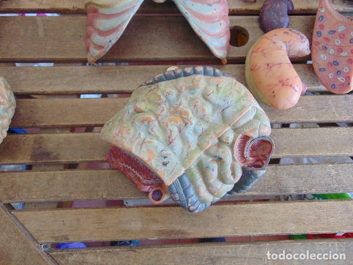 Antigüedades: LOTE DE ORGANOS Y PARTES DEL CUERPO HUMANO ANATOMIA DE FACULTAD O ESCUELA - Foto 9 - 126912523