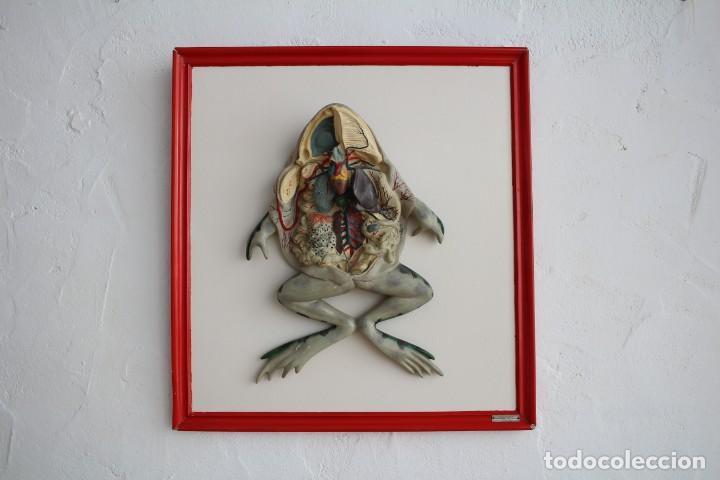 antiguo modelo anatómico. anatomía cuerpo rana. - Comprar Varias ...