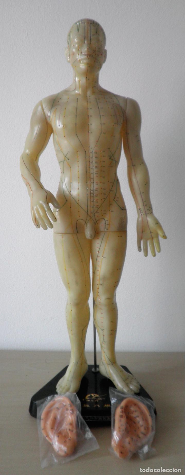 Antigüedades: MODELO DE ACUPUNTURA CHINO - ORIGINAL AÑOS 60. - Foto 2 - 133954186