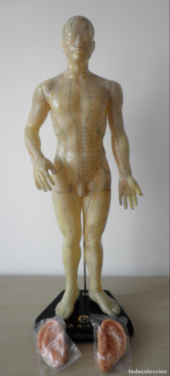 Antigüedades: MODELO DE ACUPUNTURA CHINO - ORIGINAL AÑOS 60. - Foto 7 - 133954186