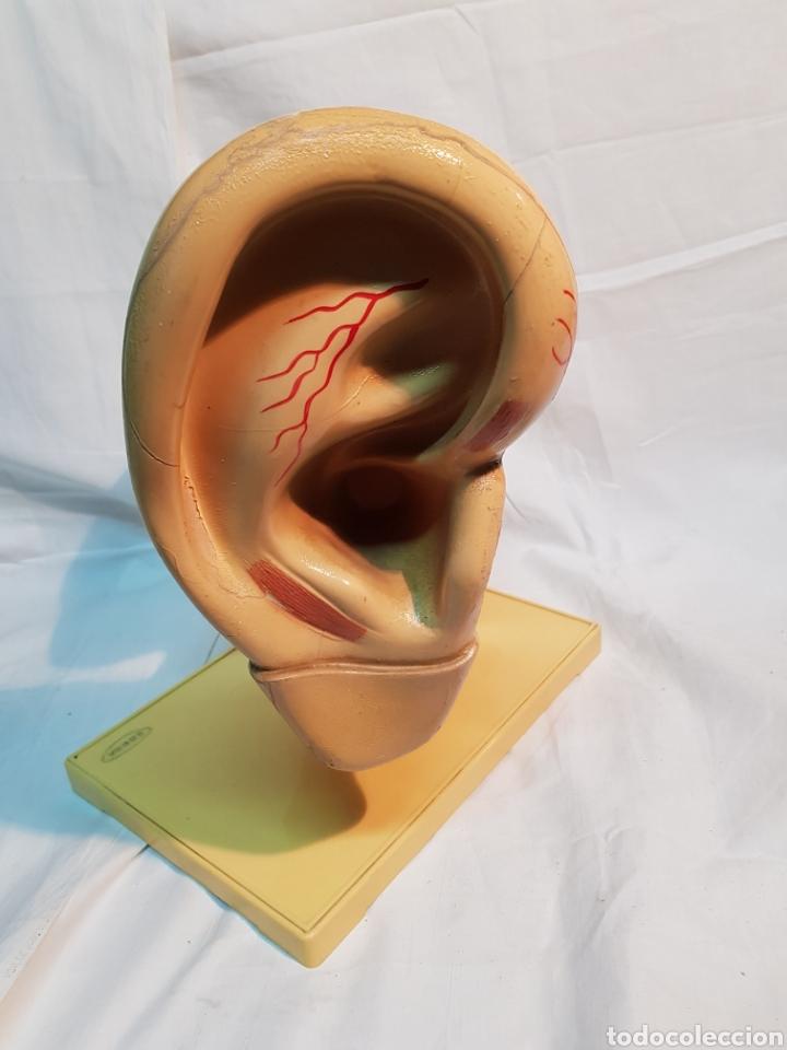 MODELO ANTIGUO ANATÓMICO OIDO DE ENOSA (Antigüedades - Técnicas - Herramientas Profesionales - Medicina)