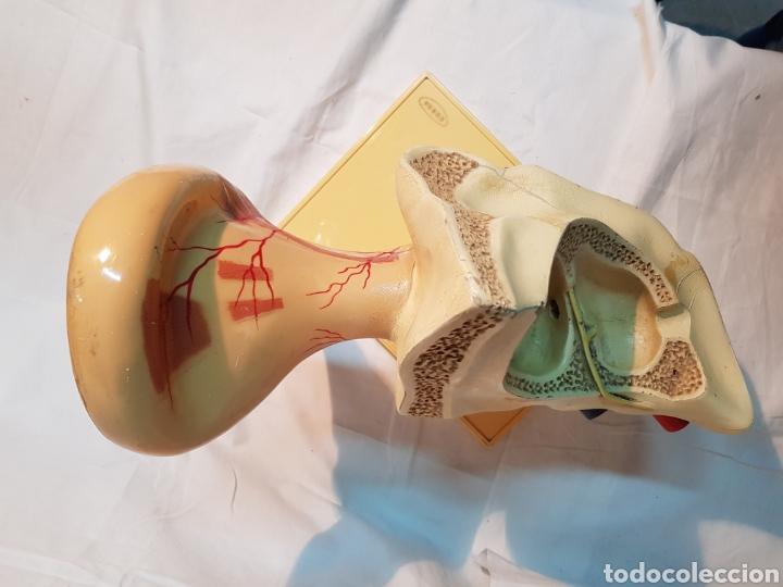 Antigüedades: MODELO ANTIGUO ANATÓMICO OIDO DE ENOSA - Foto 5 - 162525301