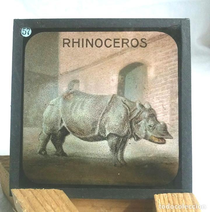 Antigüedades: 49 Cristales Zoologia Linterna Mágica del S XIX, dibujo a la tinta coloreado. Med. 8,50 x 8,50 cm - Foto 31 - 164380074