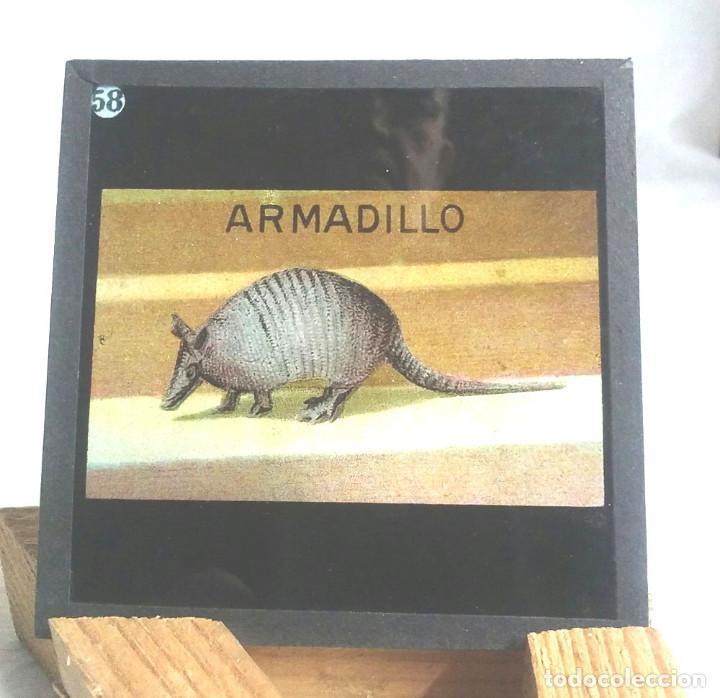 Antigüedades: 49 Cristales Zoologia Linterna Mágica del S XIX, dibujo a la tinta coloreado. Med. 8,50 x 8,50 cm - Foto 32 - 164380074