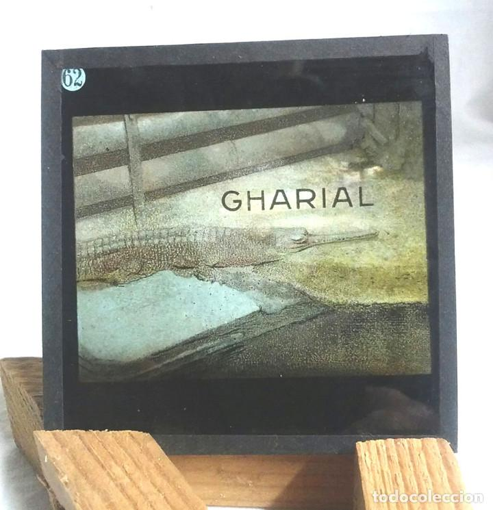 Antigüedades: 49 Cristales Zoologia Linterna Mágica del S XIX, dibujo a la tinta coloreado. Med. 8,50 x 8,50 cm - Foto 36 - 164380074