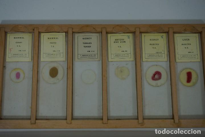 Antigüedades: COLECCIÓN DE 72 PREPARACIONES MICROSCÓPICAS PROFESIONALES BRITÁNICAS c.1950 - Foto 8 - 164733018