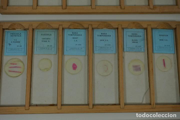 Antigüedades: MICROSCOPIO. COLECCIÓN DE 72 PREPARACIONES MICROSCÓPICAS PROFESIONALES BRITÁNICAS c.1950 - Foto 12 - 164733018