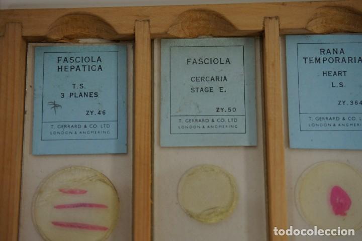 Antigüedades: COLECCIÓN DE 72 PREPARACIONES MICROSCÓPICAS PROFESIONALES BRITÁNICAS c.1950 - Foto 19 - 164733018