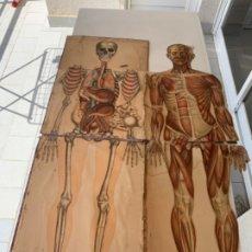 Antigüedades: ANATOMIA CROMOLITOGRAFICA CUERPO HUMANO S. XIX TAMAÑO NATURAL. Lote 182107237