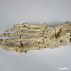 Antigüedades: HUESOS DEL PIE PARA EL ESTUDIO - RESINA - MEDIDAS REALES - MEDICO PODÓLOGO - ESQUELETO HUMANO. Lote 186432140