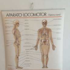 Antigüedades: GRAN MURAL APARATO LOCOMOTOR.. Lote 201194986