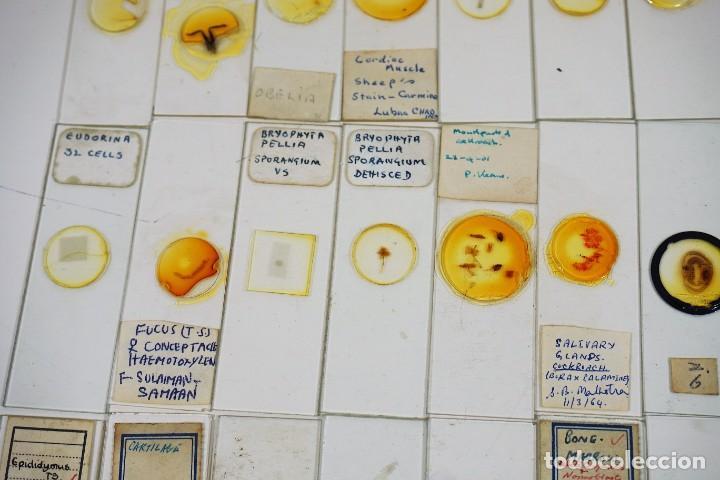 Antigüedades: MICROSCOPIO. COLECCIÓN DE 100 PREPARACIONES MICROSCÓPICAS c.1950 - Foto 6 - 222680741