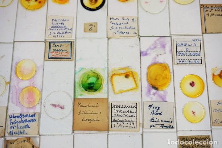 Antigüedades: MICROSCOPIO. COLECCIÓN DE 100 PREPARACIONES MICROSCÓPICAS c.1950 - Foto 8 - 222680741
