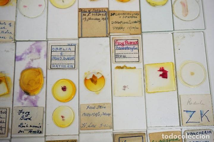 Antigüedades: MICROSCOPIO. COLECCIÓN DE 100 PREPARACIONES MICROSCÓPICAS c.1950 - Foto 9 - 222680741