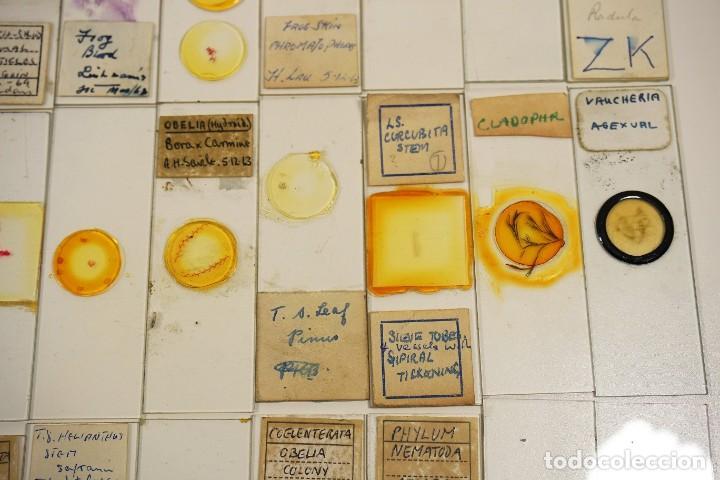 Antigüedades: MICROSCOPIO. COLECCIÓN DE 100 PREPARACIONES MICROSCÓPICAS c.1950 - Foto 10 - 222680741