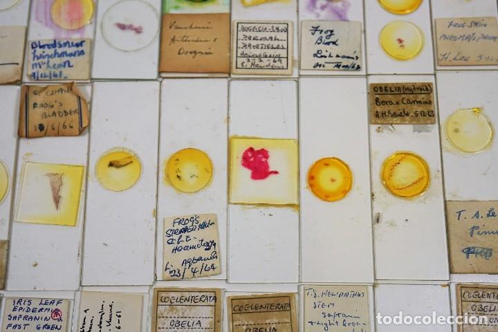 Antigüedades: MICROSCOPIO. COLECCIÓN DE 100 PREPARACIONES MICROSCÓPICAS c.1950 - Foto 11 - 222680741