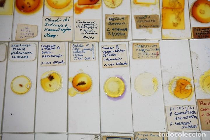 Antigüedades: MICROSCOPIO. COLECCIÓN DE 100 PREPARACIONES MICROSCÓPICAS c.1950 - Foto 23 - 222680741