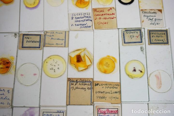 Antigüedades: MICROSCOPIO. COLECCIÓN DE 100 PREPARACIONES MICROSCÓPICAS c.1950 - Foto 25 - 222680741