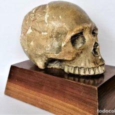 Antigüedades: PALEONTOLOGIA,CALABERA,CRANEO ESQUELETO EN ESTUCO,FINALES SIGLO XIX,CON CEREBRO,HOMBRE PRIMITIVO. Lote 232924220