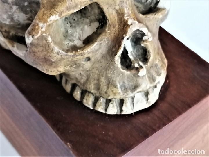 Antigüedades: PALEONTOLOGIA,CALABERA,CRANEO ESQUELETO EN ESTUCO,FINALES SIGLO XIX,CON CEREBRO,HOMBRE PRIMITIVO - Foto 9 - 232924220