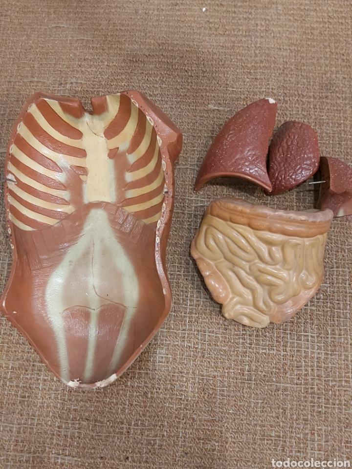 Antigüedades: MODELO ANATOMICO AÑOS 50 - Foto 12 - 240206570