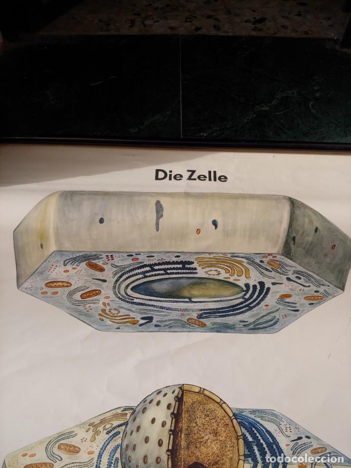 Antigüedades: Cartel aleman celulas - Foto 2 - 251949160