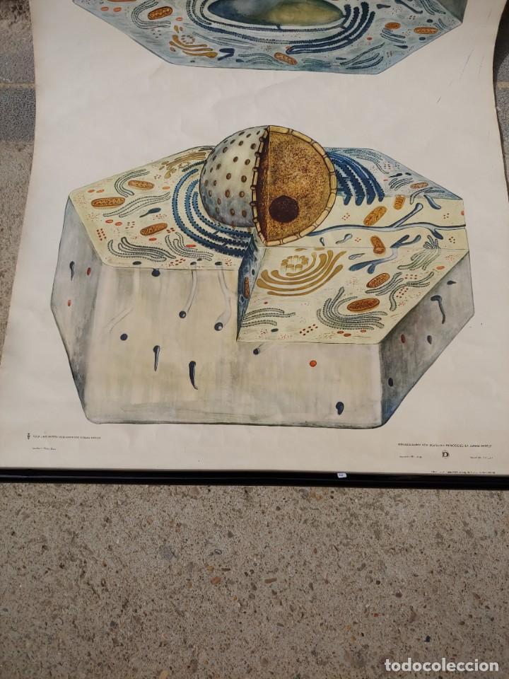 Antigüedades: Cartel aleman celulas - Foto 3 - 251949160