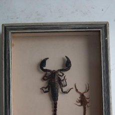 Antigüedades: MARAVILLOSO ANTIGUO CUADRO CON NATURALEZA DISECADA . GABINETE DE CURIOSIDADES. Lote 256037060