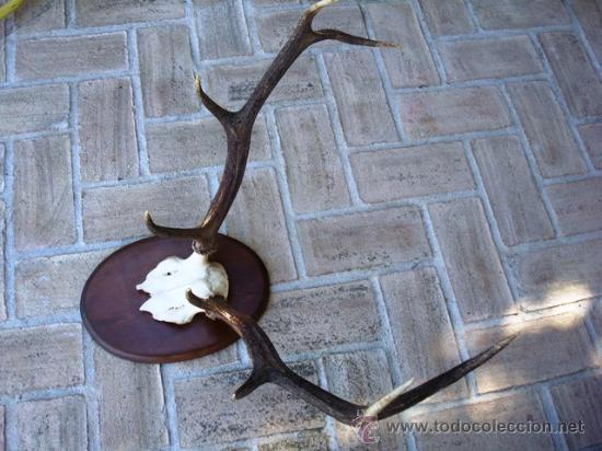 Antigüedades: TROFEO DE VENADO DE 8 PUNTAS PARA DECORACION - Foto 3 - 26542784