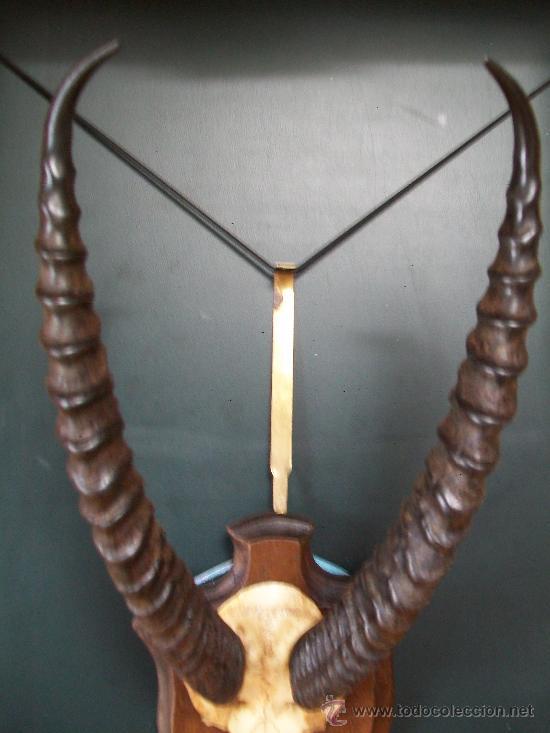 Antigüedades: Cornamenta de ANTILOPE en soporte frances. - Foto 3 - 194235623