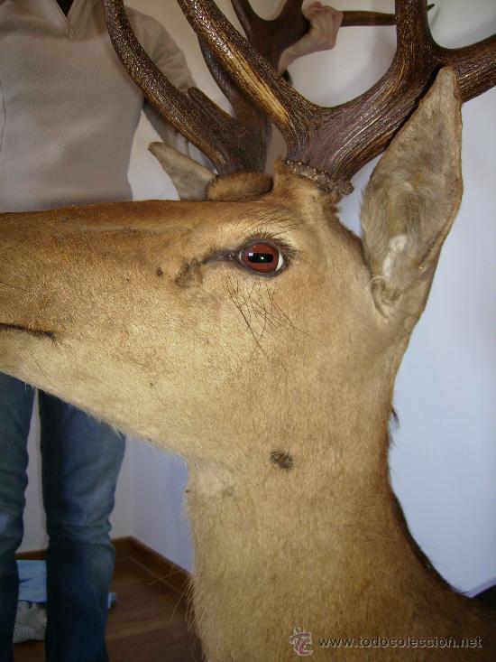 Antigüedades: buena cabeza de venado 14 puntas de la famosa finca el molinillo 1976 impresionante - Foto 3 - 30272085
