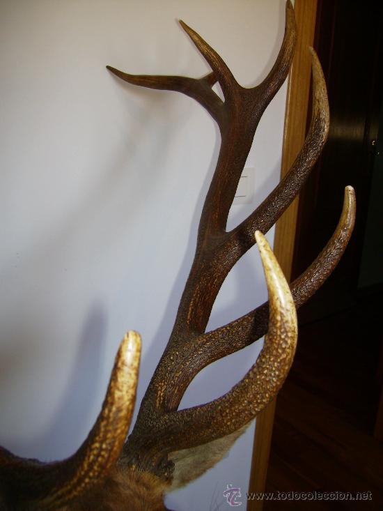 Antigüedades: buena cabeza de venado 14 puntas de la famosa finca el molinillo 1976 impresionante - Foto 4 - 30272085