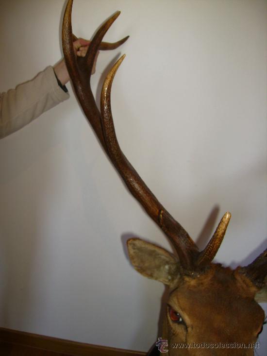 Antigüedades: buena cabeza de venado 14 puntas de la famosa finca el molinillo 1976 impresionante - Foto 7 - 30272085